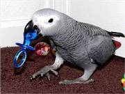 DNA tested African Gray Parrots for adoption