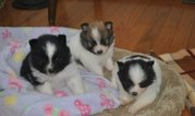 home raise Black/White Parti Pom Male