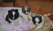 Solid White Akc Registered English Bulldog Female Puppy Price 1550