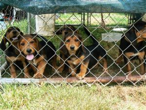 cute and halth Basset Hound for Sale - Melton - Dogs for sale