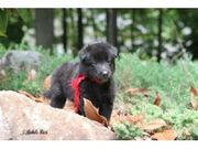 health and caring Belgian Sheepdog for Sale